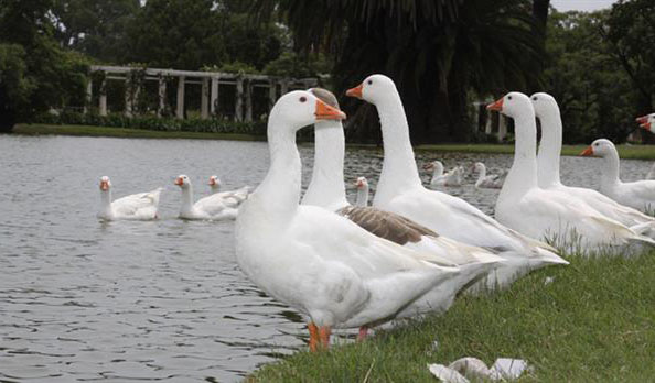 Peligran las aves de los Lagos de Palermo