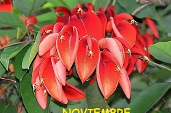 ceibo_flor