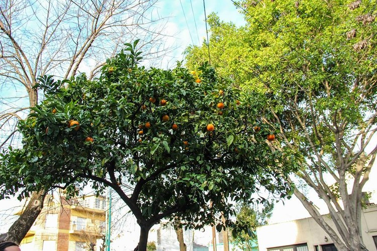 Caminatas organizadas para conocer los árboles frutales de CABA